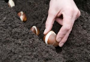 Посадка луковичных, фото
