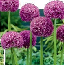 Allium giganteum, фото