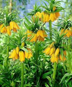 Fritillaria imperialis, фото