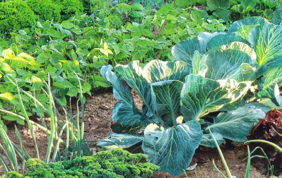 Овощи в огороде