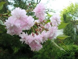 цветы сакуры 'Kiku-shidare'