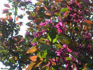 цветущая яблоня 'Royalty', фото