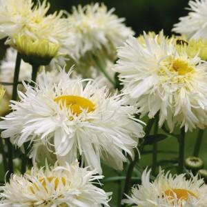 Нивяник садовый 'Goldrausch' фото