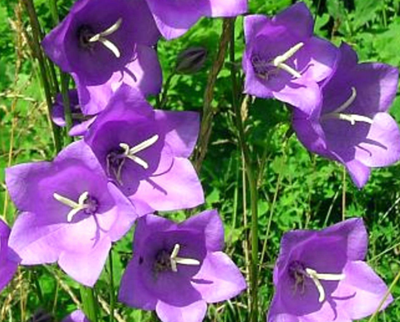 Забыли пароль.  Объявления.  Колокольчик персиколистый / С. persicifolia L. Главная.