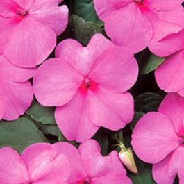 Бальзамин 'Dazzler Pink' фото