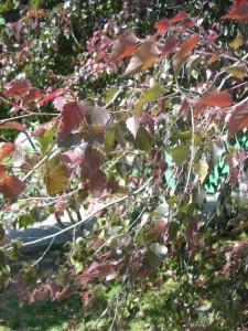 Береза Betula pendula 'Рurpurea' фото