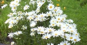 Нивяник (садовая ромашка)