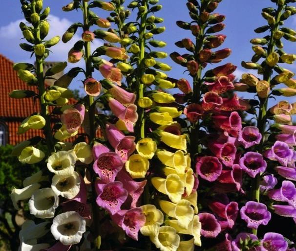 Цветы в вашем саду высаживаем цветы