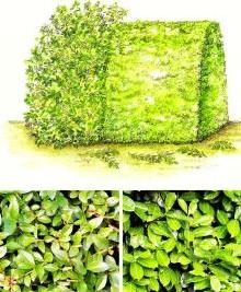 Формирование живой изгороди, фото
