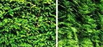 Растения для живой изгороди, фото