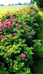 Роза морщинистая, фото