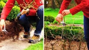 Как создать живую изгородь, фото