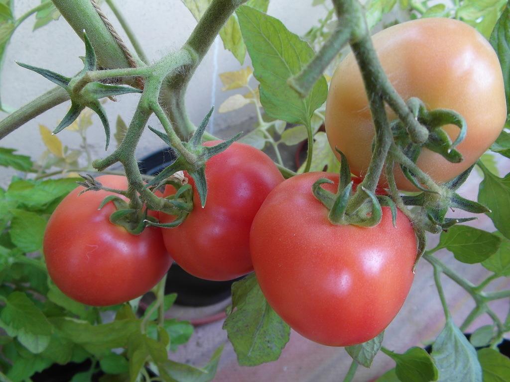 Подарок женщине-томат