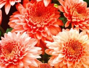 Осенние хризантемы, фото
