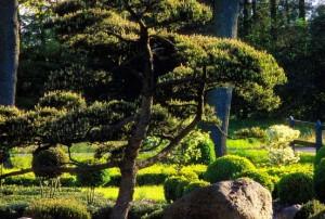 Садовый бонсай - ниваки, фото
