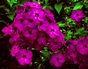 Флоксы пурпурные, фото