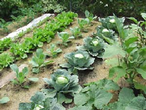 План огорода, фото