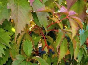 Виноград девичий, фото