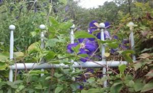 Вьющиеся растения у вас в саду