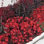 Буферные цвета в оформлении сада
