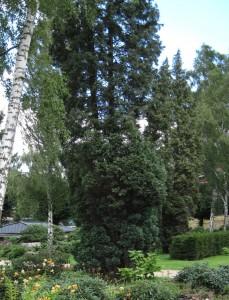 Хвойные растения в саду, фото