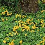 Почвопокровные растения в вашем саду