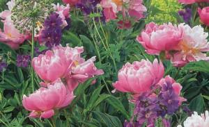 Пион молочноцветковый, фото
