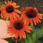 Цветы для клумбы и вазы