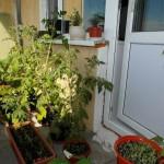 Сажаем овощи на балконе