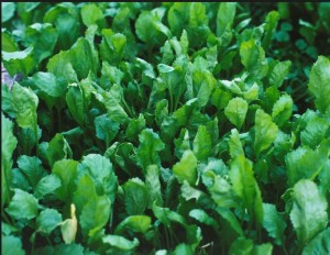 Кресс-салат, фото