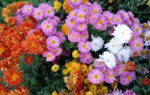 Хризантемы, фото