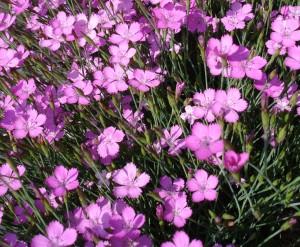 Гвоздика-травянка, фото