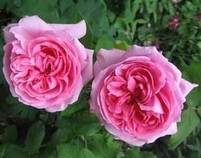 Роза Madame Knorr, фото