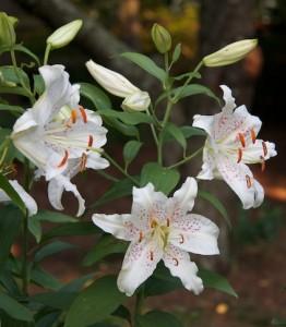 Лилии восточные, фото