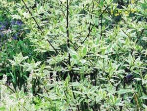 Дерен с пестрыми листьями, фото