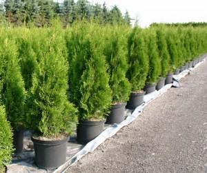 Какие выбрать хвойные деревья и кустарники, фото
