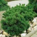 Выбираем хвойные деревья и кустарники для вашего сада