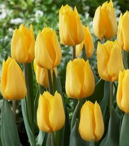 "Тюльпаны ""Желтый Апельдорн"", фото"