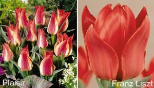 Тюльпаны Грейга, фото