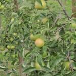 10 секретов яблоневого сада