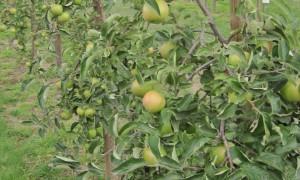 Яблони в саду, фото