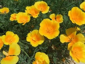 Эшшольция калифорнийская, фото