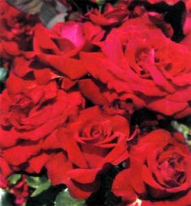 Чайно-гибридные розы сорта 'Glad Tidings' , фото