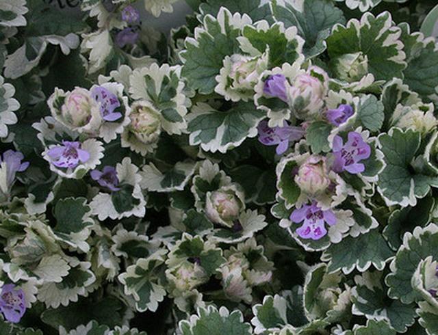 http://my-dream-garden.ru/wp-content/uploads/2015/07/Glechoma-hederacea-Variegata.jpg