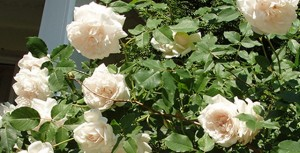 Розы 'Madame Alfred Carriere', фото