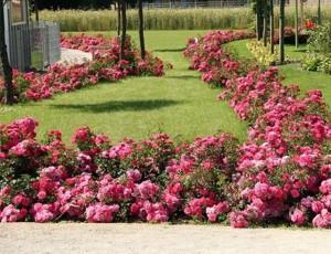 Розы 'Flower Carpet', фото