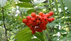 Плоды рябины, фото