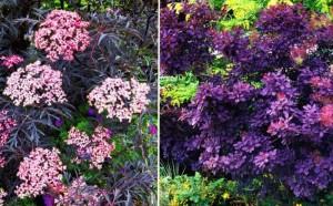 Кустарники с цветными листьями, фото