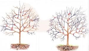 Обрезка плодовых деревьев, фото