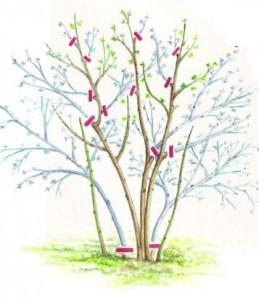 Обрезка весеннецветущих кустарников, фото
